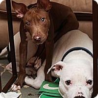 Adopt A Pet :: Pandora - Reisterstown, MD