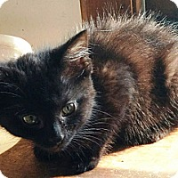 Domestic Mediumhair Cat for adoption in Palatine, Illinois - Kermit