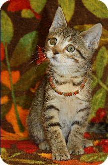 Domestic Shorthair Kitten for adoption in Washburn, Wisconsin - Baby Bear