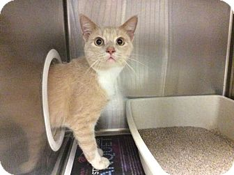 Domestic Shorthair Cat for adoption in Janesville, Wisconsin - Watsky