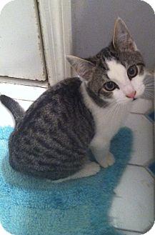 Domestic Shorthair Kitten for adoption in Philadelphia, Pennsylvania - Hillary