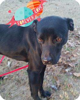 Labrador Retriever Mix Dog for adoption in Media, Pennsylvania - Valentine