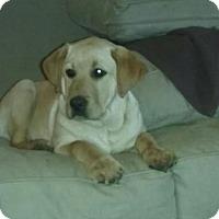 Adopt A Pet :: Bently/Beau - Stamford, CT