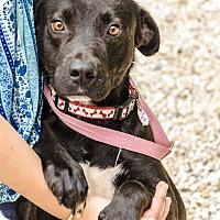 Adopt A Pet :: Sage - Middlebury, CT