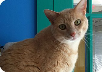Domestic Shorthair Cat for adoption in Topeka, Kansas - Kiera