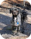 Shih Tzu Mix Dog for adoption in Tinton Falls, New Jersey - ChaCHa