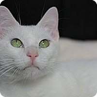 Domestic Shorthair Cat for adoption in Dallas, Texas - GRANT