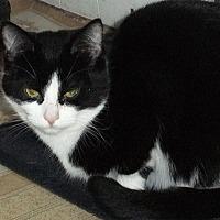 Domestic Shorthair Cat for adoption in Mississauga, Ontario, Ontario - Jules