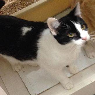Domestic Shorthair Cat for adoption in Atlanta, Georgia - Kevin141138