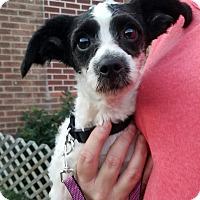 Adopt A Pet :: Harpo - New Windsor, NY