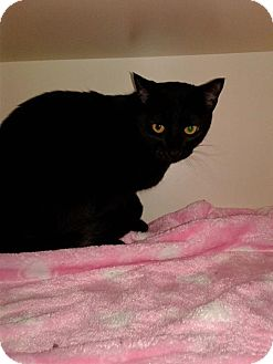 Domestic Shorthair Cat for adoption in Idaho Falls, Idaho - Nonie