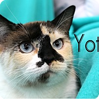 Siamese Cat for adoption in Wichita Falls, Texas - Yote