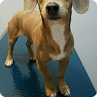 Adopt A Pet :: Rusty - Irmo, SC