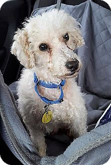 Poodle (Toy or Tea Cup)/Poodle (Miniature) Mix Dog for adoption in North Olmsted, Ohio - Walter