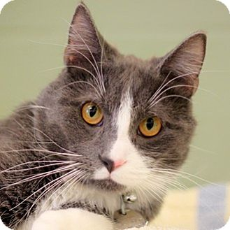 Domestic Shorthair Cat for adoption in Naperville, Illinois - Sassafrass