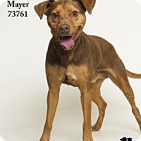 Adopt A Pet :: Mayer - Baton Rouge, LA