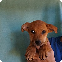 Adopt A Pet :: Ozzie - Oviedo, FL