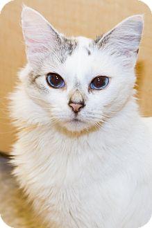 Siamese Cat for adoption in Irvine, California - Sky
