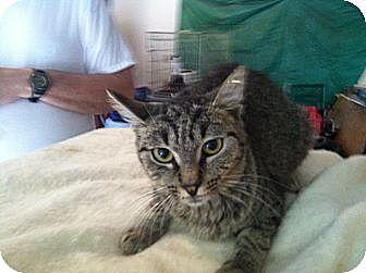 Domestic Shorthair Cat for adoption in Massillon, Ohio - FRESKA