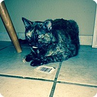 Domestic Mediumhair Cat for adoption in Kennedale, Texas - Sadie