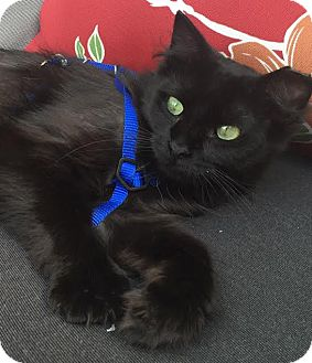 Domestic Mediumhair Cat for adoption in Rochester Hills, Michigan - Gypsy