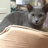 Domestic Shorthair Cat for adoption in Melbourne, Florida - Molly