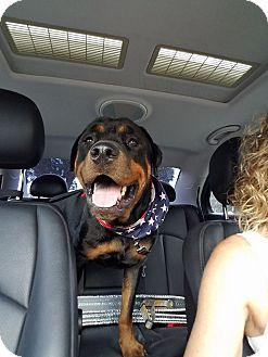 Rottweiler Dog for adoption in New Smyrna Beach, Florida - Kobe