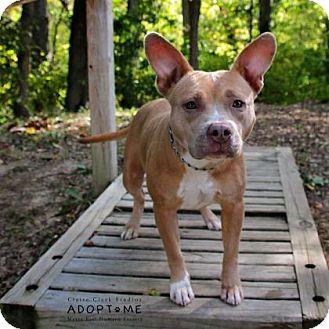 Terrier (Unknown Type, Medium) Mix Dog for adoption in Edwardsville, Illinois - dutchess