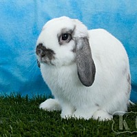 Adopt A Pet :: Icicle - Pflugerville, TX