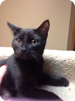 Domestic Shorthair Cat for adoption in Bridgeton, Missouri - Pickles