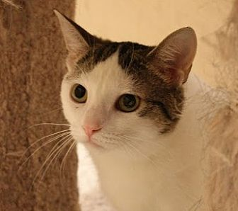 Domestic Shorthair Cat for adoption in Richmond Hill, Ontario - Ivy