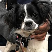 Adopt A Pet :: Mochi - Studio City, CA