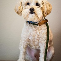Poodle (Miniature) Mix Dog for adoption in Chino Hills, California - Tumi - Claremont