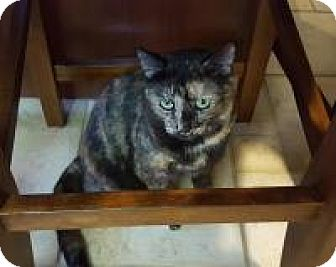 Domestic Shorthair Cat for adoption in Berkeley Hts, New Jersey - Dottie