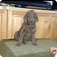 Adopt A Pet :: Chester- Pup with vision issue - St. Petersburg, FL