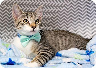 Domestic Shorthair Kitten for adoption in Montclair, California - Owen