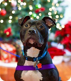 American Staffordshire Terrier/Terrier (Unknown Type, Medium) Mix Dog for adoption in Troy, Michigan - Tru
