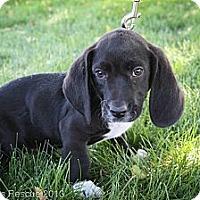 Adopt A Pet :: GYPSYmoth - Broomfield, CO