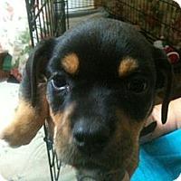 Adopt A Pet :: Mindy - Russellville, AR