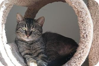 Domestic Shorthair Cat for adoption in Wyandotte, Michigan - Meow-Na-Lisa