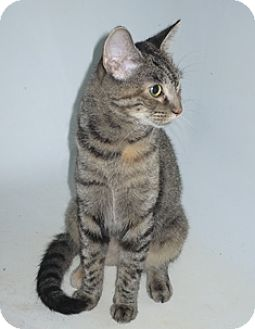 Domestic Shorthair Cat for adoption in Port Republic, Maryland - MorningGlory