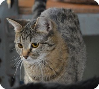 Domestic Shorthair Kitten for adoption in Maywood, Illinois - Menhit
