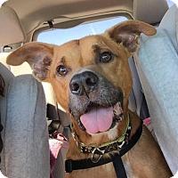 Adopt A Pet :: Lazer - Jacksonville, FL