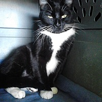 Adopt A Pet :: Whisper - San Jose, CA
