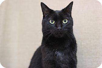 Domestic Shorthair Cat for adoption in Midland, Michigan - Cedar