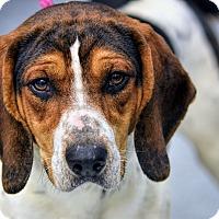 Treeing Walker Coonhound Mix Dog for adoption in Martinsville, Indiana - Elvis Houndly