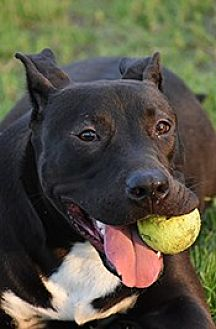 American Staffordshire Terrier Mix Dog for adoption in Jarrell, Texas - Valiant
