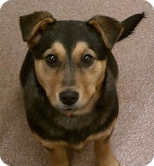 Shepherd (Unknown Type)/Border Collie Mix Puppy for adoption in North Olmsted, Ohio - Gerdie