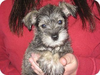 Schnauzer (Miniature) Puppy for adoption in Salem, New Hampshire - Anja