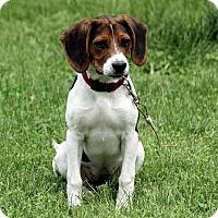 Adopt A Pet :: Harlow - Brattleboro, VT